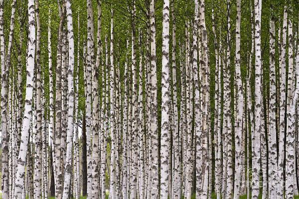Photograph - Birch Forest by Heiko Koehrer-Wagner