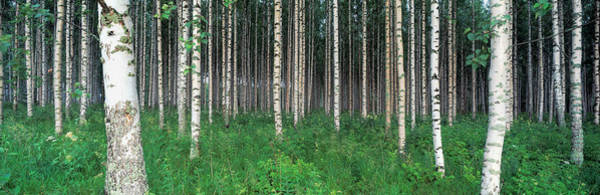 Thicket Photograph - Birch Forest, Punkaharju, Finland by Panoramic Images