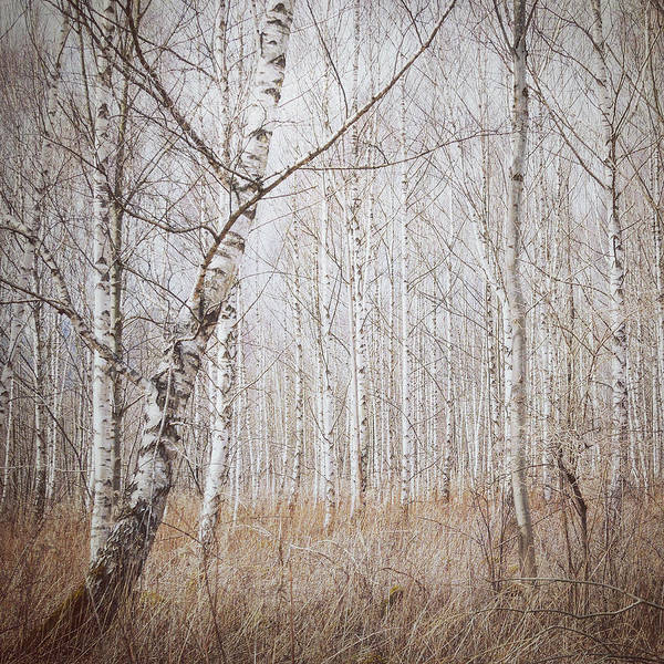 Bavaria Photograph - Birch Forest by Renate Wasinger