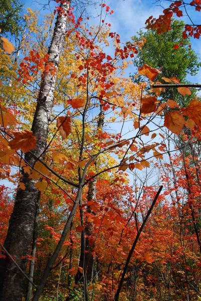 Photograph - Birch Maple Autumn by Cascade Colors