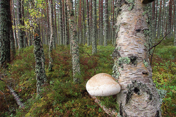 Cairngorms Photograph - Birch Polypore Fungus by Duncan Shaw/science Photo Library