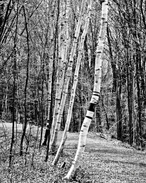 Photograph - Birch Sentinels by Kristen Fox