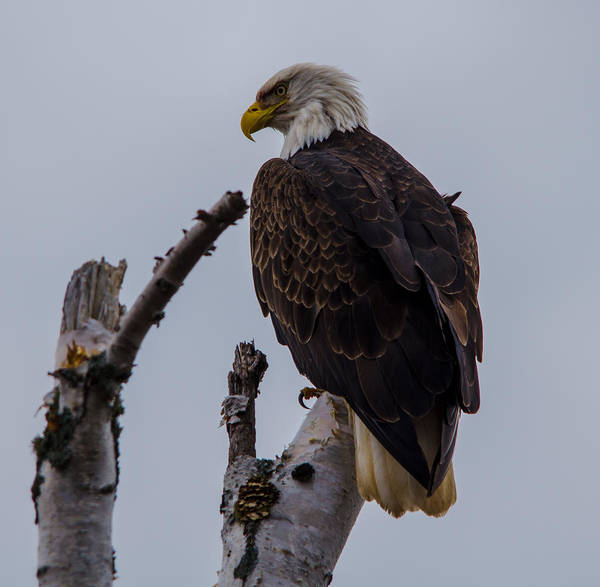 Bwcaw Photograph - Birch Tree Bald Eagle by David Johnson