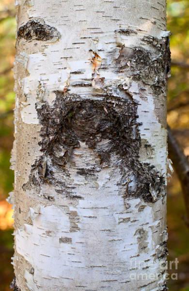 Photograph - Birch Tree Dog Face by Les Palenik