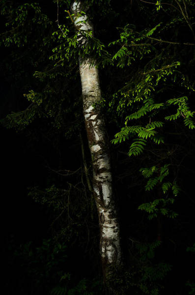 Photograph - Birch Tree by Michael Goyberg
