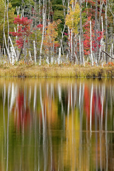 Wall Art - Photograph - Birch Trees And Autumn Colors On Red by Adam Jones