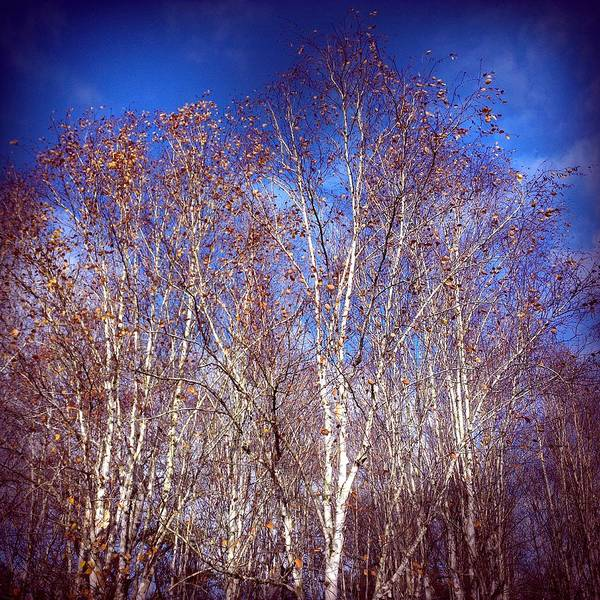 Birch Trees And Blue Sky In Autumn Art Print