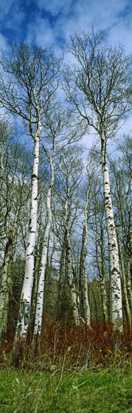 Peacefulness Photograph - Birch Trees In A Forest, Us Glacier by Panoramic Images