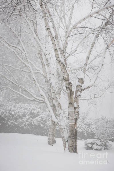 Photograph - Birch Trees In Winter by Elena Elisseeva