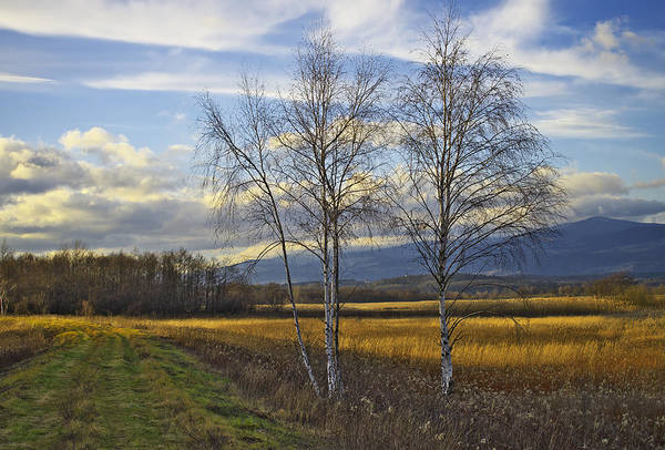 Photograph - Birch Trees by Ivan Slosar