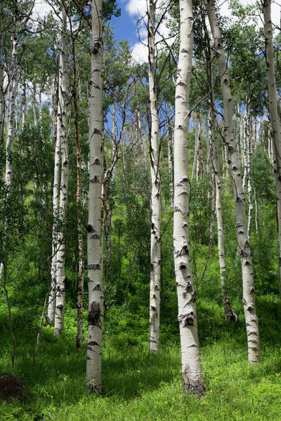 Birch River Photograph - Birch Trees by Jim West