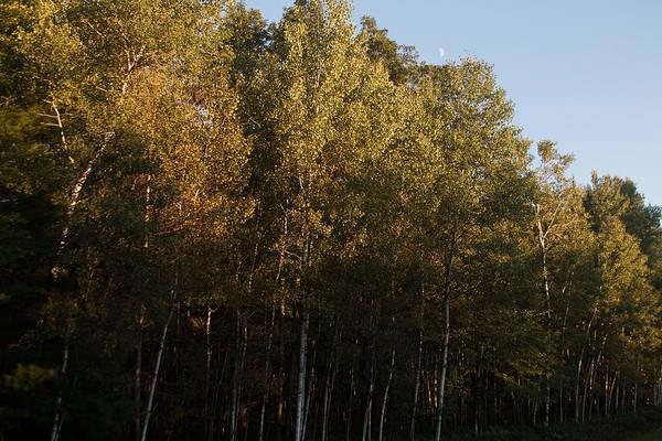 Wall Art - Photograph - Birch Trees by Robert Torkomian