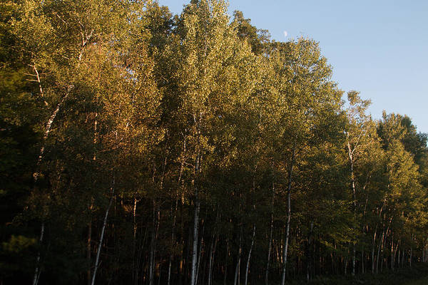 Sturgeon River Photograph - Birch Trees by Robert Torkomian