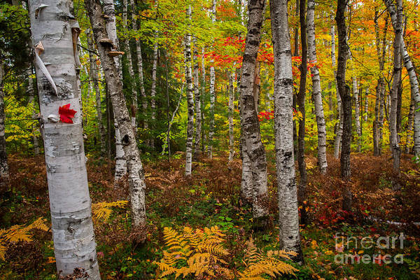 Wall Art - Photograph - Birch Trees by Todd Bielby