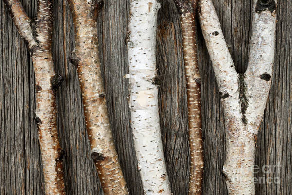 Christmas Decoration Photograph - Birch Trunks by Elena Elisseeva