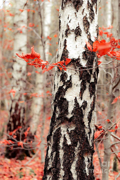 Photograph - Birches And Beeches by Hannes Cmarits