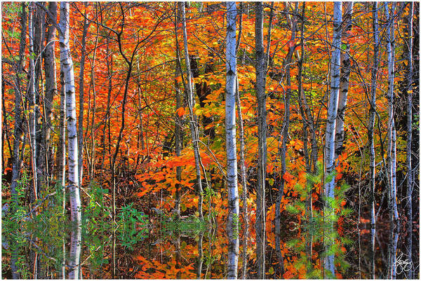 Photograph - Birches In Highwater by Wayne King