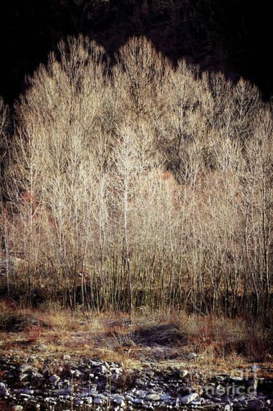 Photograph - Birches In Winter by Silvia Ganora