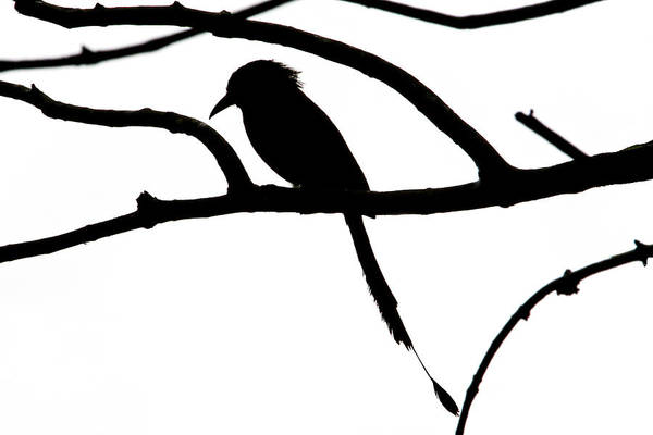 Photograph - Bird And Tree Silhouette by Peggy Collins