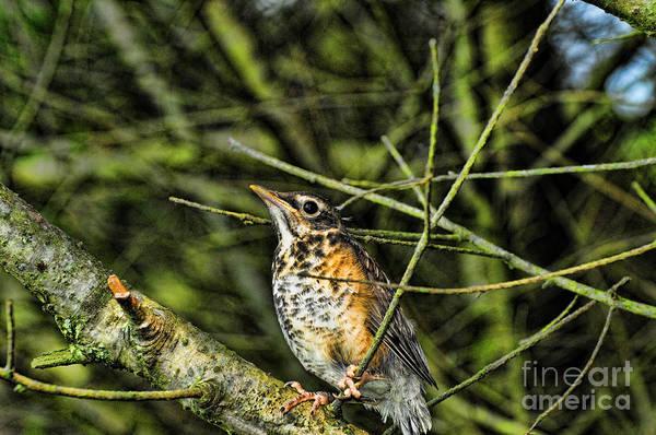 Bird Watcher Photograph - Bird - Baby Robin by Paul Ward