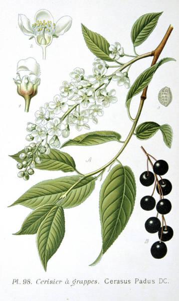 Native Garden Wall Art - Painting - Bird Cherry Cerasus Padus Or Prunus Padus by Anonymous