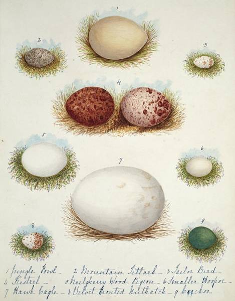 Biodiverse Wall Art - Photograph - Bird Eggs From India by Natural History Museum, London/science Photo Library