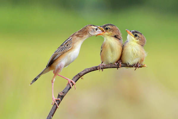 Wall Art - Photograph - Bird Feeding Babies by Memensaputra