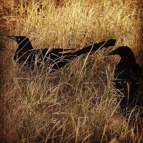 Grackle Photograph - #bird #grackle #desert #texas #eyes by J Z