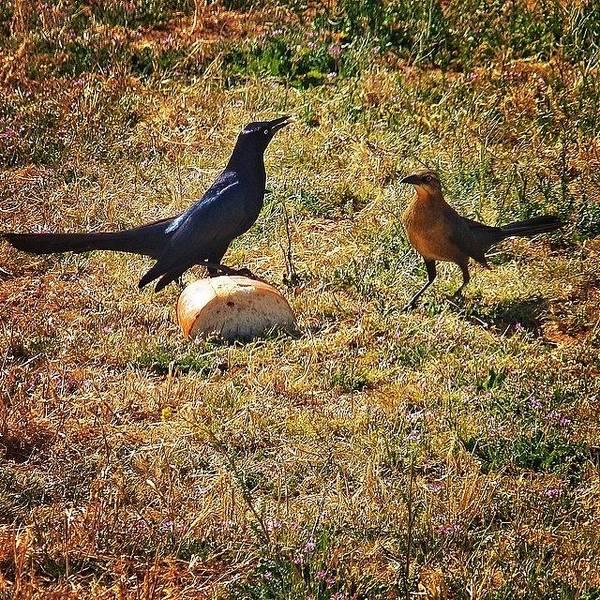 Grackle Photograph - #bird #grackle #nature #world_union by J Z
