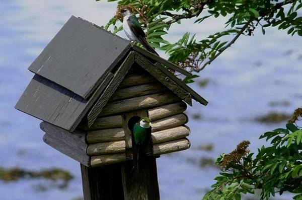 Violet-green Swallow Photograph - Bird House And Violet Green Swallows by Will LaVigne