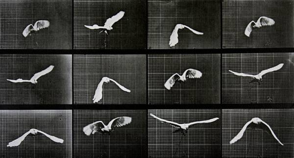 Sequence Photograph - Bird In Flight by Eadwerd Muybridge