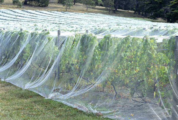 Biological Pest Control Photograph - Bird Netting Over Crops by Alex Bartel/science Photo Library