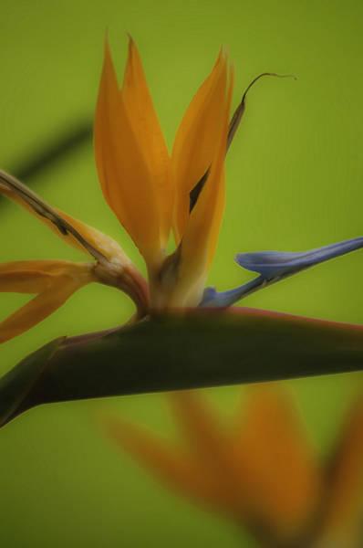 Photograph - Bird Of Paradise 2 by Sherri Meyer