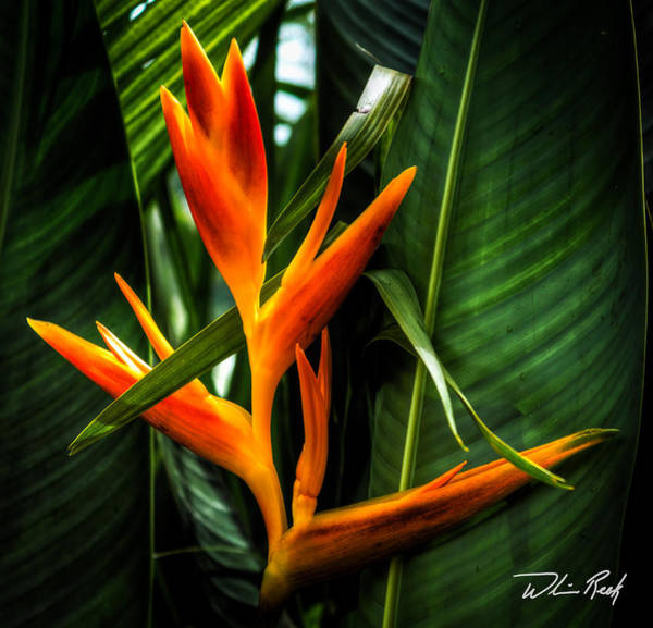 Photograph - Bird Of Paradise 2 by William Reek