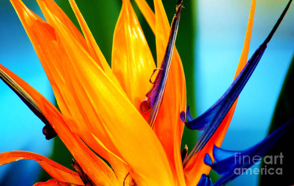 Photograph - Bird Of Paradise Flower 3 by Susanne Van Hulst