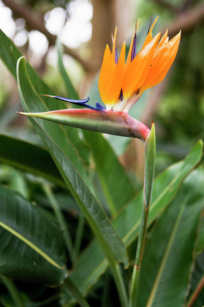 Tenerife Photograph - Bird Of Paradise Flower by Johner Images