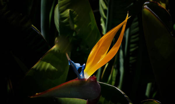 Photograph - Bird Of Paradise Flower by Ron White