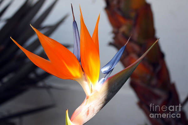 Photograph - Bird Of Paradise by Kelly Holm