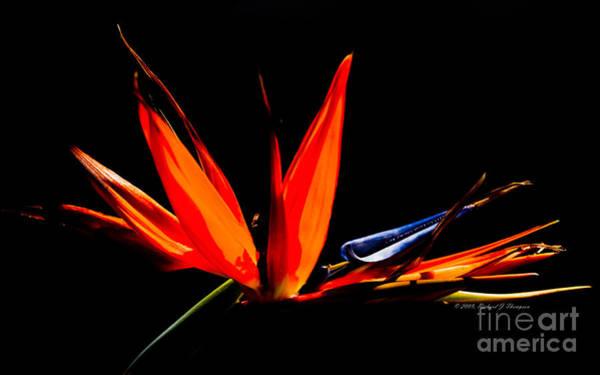 Photograph - Bird Of Paradise by Richard J Thompson