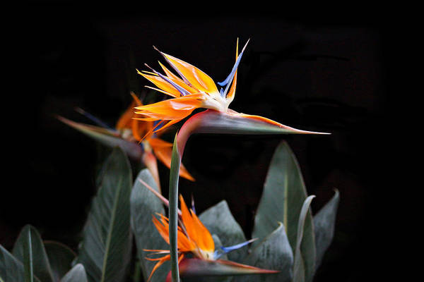 Photograph - Bird Of Paradise by Sandy Keeton