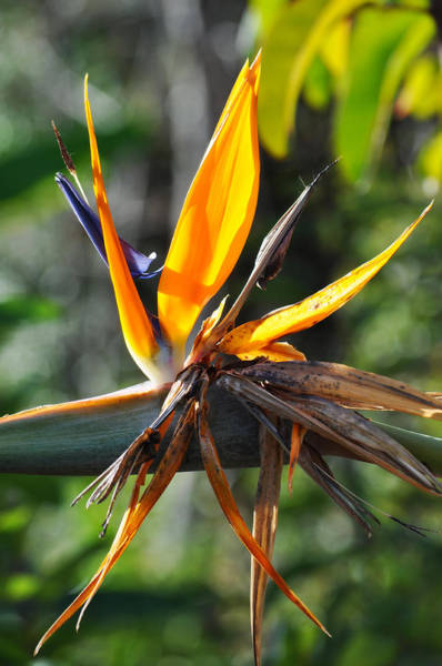 Wall Art - Photograph - Bird Of Paradise Solstice Canyon by Kyle Hanson