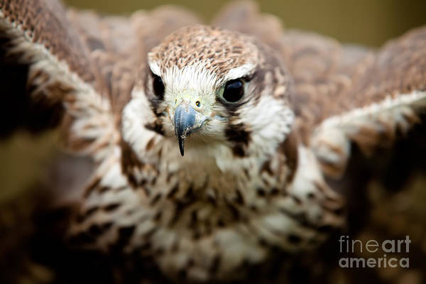 Peregrine Photograph - Bird Of Prey Flying by Simon Bratt Photography LRPS