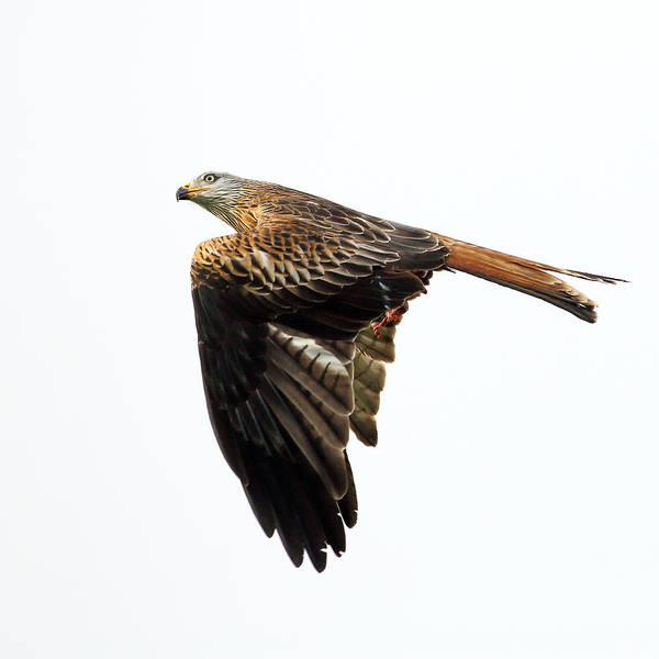 Photograph - Bird Of Prey In Flight by Grant Glendinning
