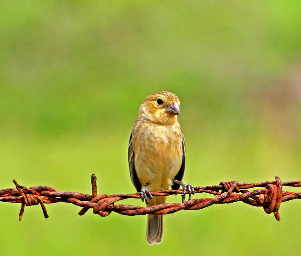 Photograph - Bird On A Wire 2 by Peggy Collins