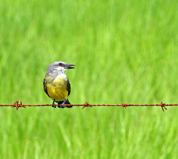 Photograph - Bird On A Wire by Peggy Collins