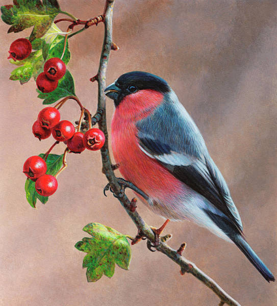 Bird Watching Digital Art - Bird On Branch With Berries, Bullfinch by Andrew Hutchinson