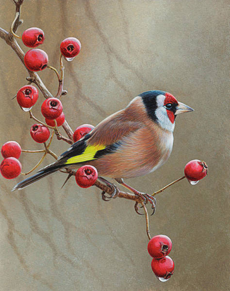 Bird Watching Digital Art - Bird On Branch With Berries, Goldfinch by Andrew Hutchinson