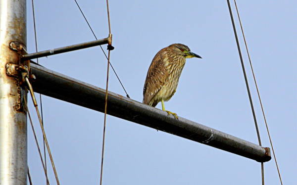 Photograph - Bird On The Mast by AJ  Schibig