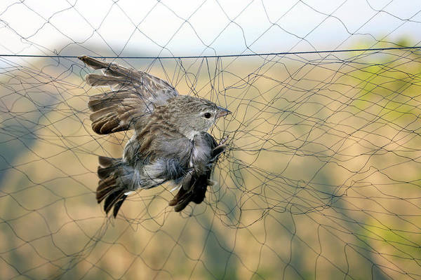 Trapping Photograph - Bird Trapping For Biological Research by Dr Morley Read/science Photo Library
