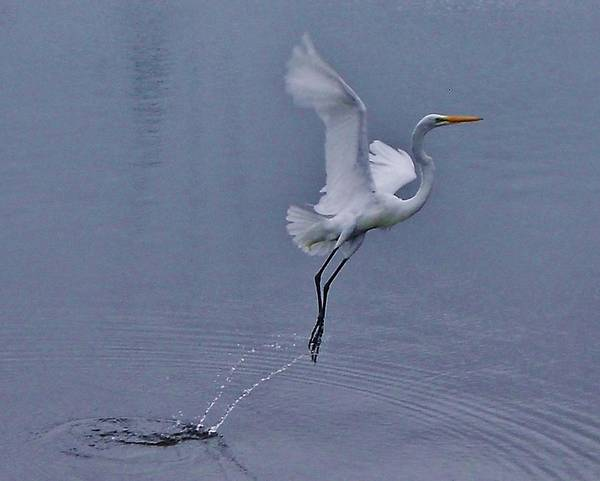 Standup Paddleboard Photograph - Bird Water Takeoff 1 6/25 by Mark Lemmon